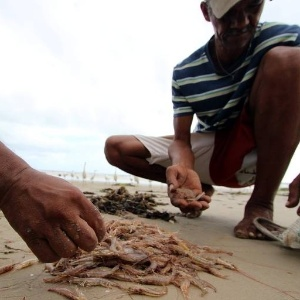 Ministério diz  que é crustáceo | Pescadores chamam camarão de marisco e perdem seguro-defeso