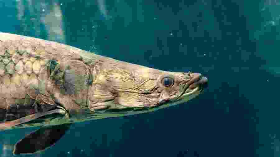 O Pirarucu da Amazônia esteve perto da extinção - Getty Images/iStockphoto