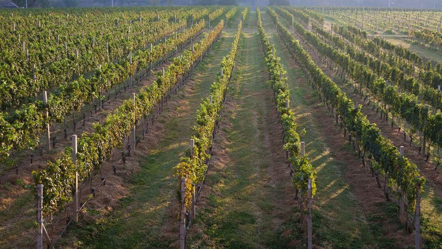 Vinhedos na vinícola Grandmonte, na Tailândia - Johnny Mazzilli/Divulgação