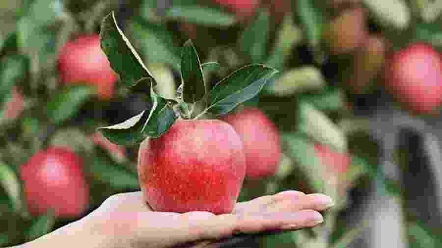 Malus sieversii é considerada a mãe da maçã que conhecemos - BBC