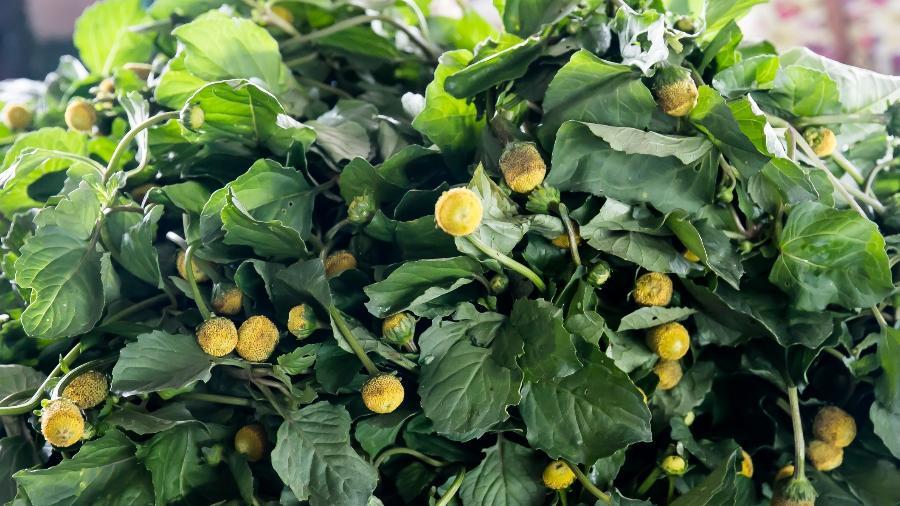 As folha do jambu, muito utilizado na culinária e em preparos medicinais - Getty Images