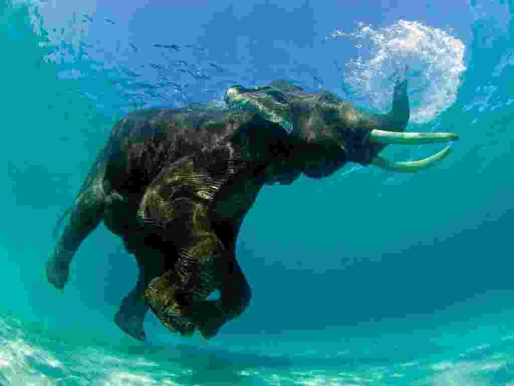 """Este elefante asiático estava tomando um banho quando o fotógrafo americano Jeff Yonover o flagrou.  Yonover conseguiu retratar o exato momento em que a tromba do elefante funcionou como um """"snorkel"""" - Jeff Yonover"""