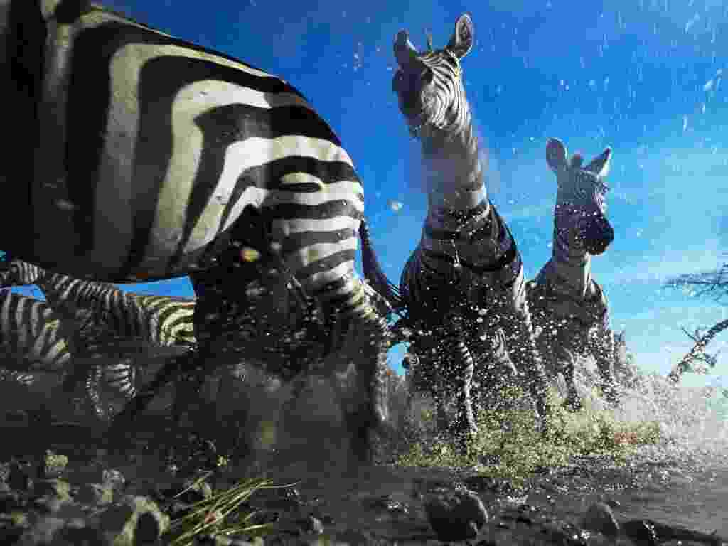 """O Museu de História Natural de Londres selecionou algumas das melhores imagens do seu tradicional concurso Wildlife Photographer of the Year, que existe há décadas. Esta imagem, intitulada """"Cruzamento Zebra"""", foi feita na Tanzânia pela fotógrafa britânica Anup Shah. O objetivo dela era mostrar como as formigas veem os animais - Anup Shah"""