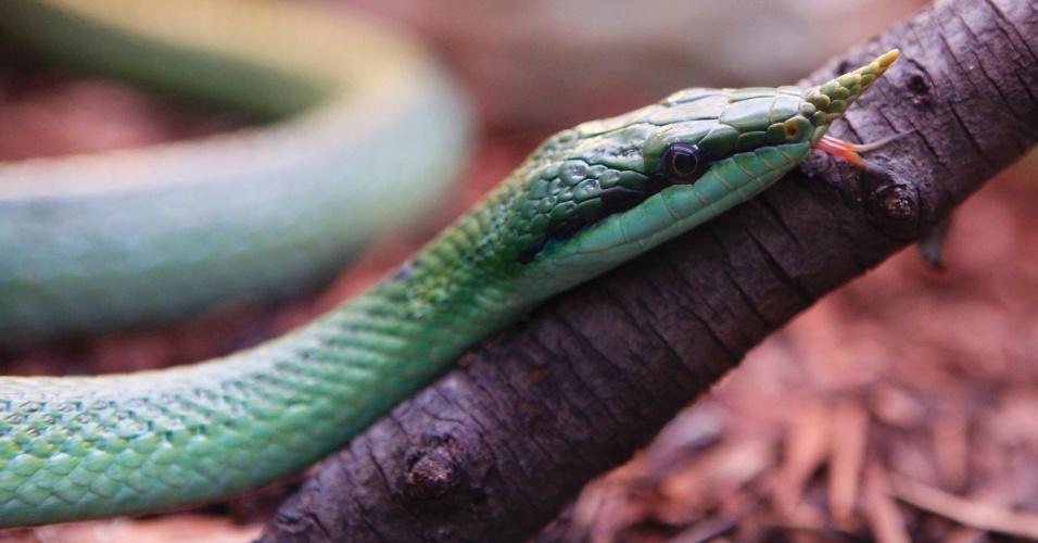 "Cobra da espécie ""Rhynchophis boulengeri"" rasteja em novo terrário no zoológico de Krasnoyarsk, na Rússia"