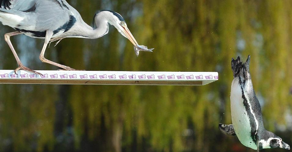 Pinguim Humboldt salta de um trampolim, junto a uma garça comendo um peixe no zoológico de Londres