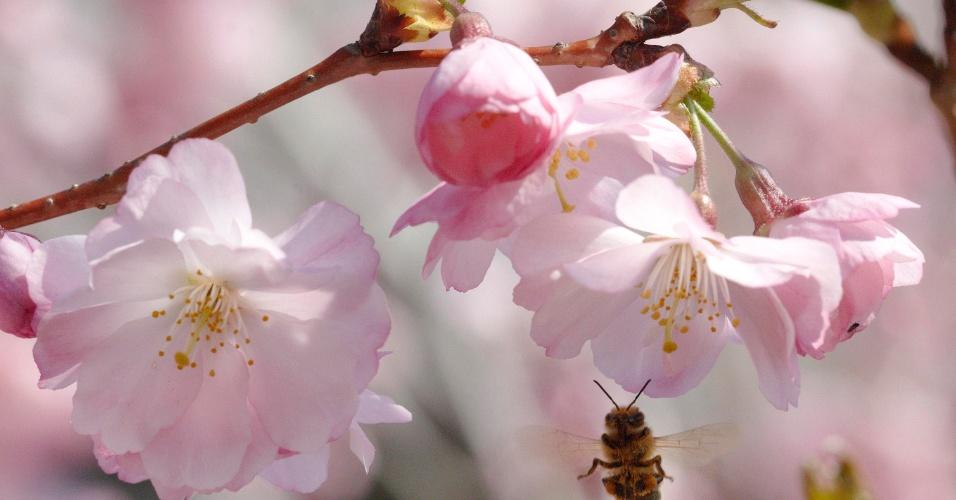 Abelhas pousa em flor de cerejeira em parque de Lausanne, na Suíça