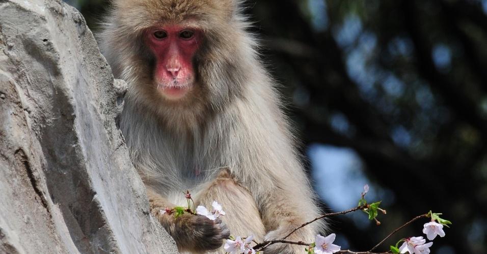 Macaco come flor de cerejeira no jardim zoológico de Ueno, em Tóquio
