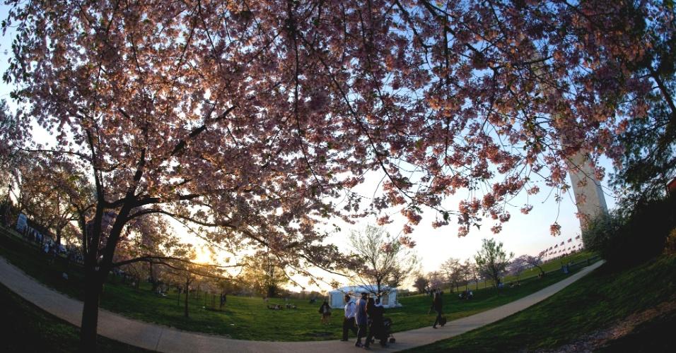 Pessoas aproveitam o pôr do sol em meio a cerejeiras em parque de Washington (EUA)