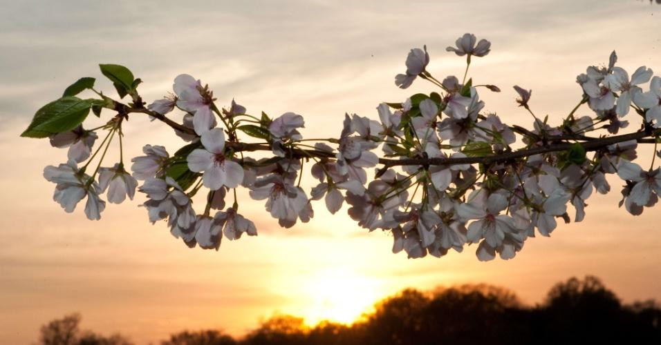 Sol se põe atrás de cerejeira em parque de Washington (EUA)