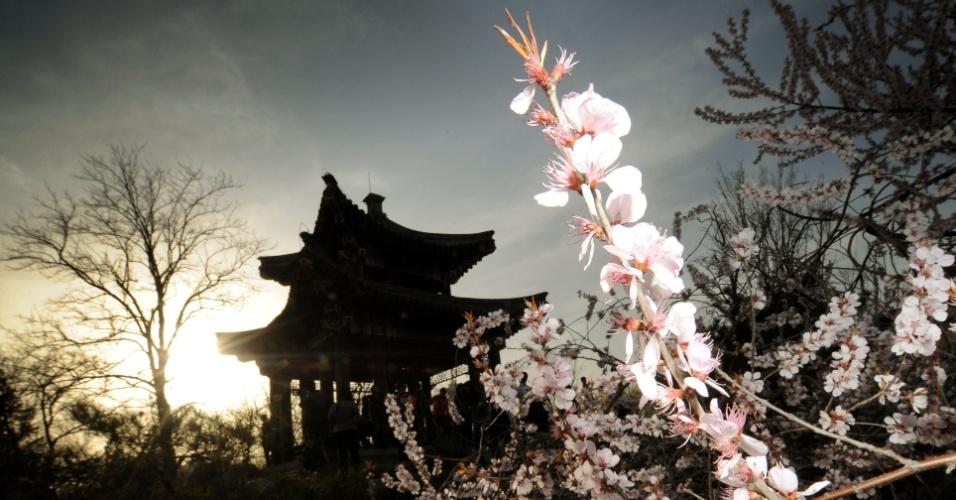 Foto mostra flores de cerejeira em Pequim, na China