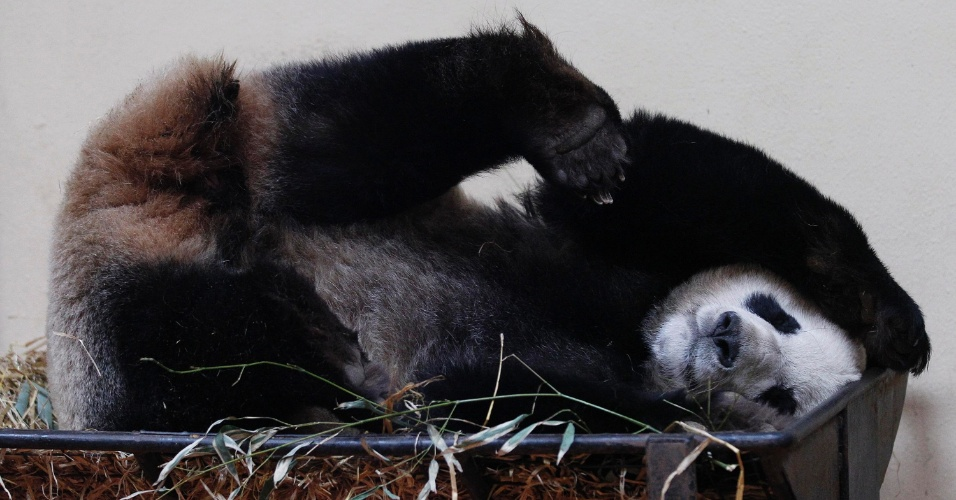 A panda gigante Tian Tian dorme no zoológico de Edinburgh, na Escócia