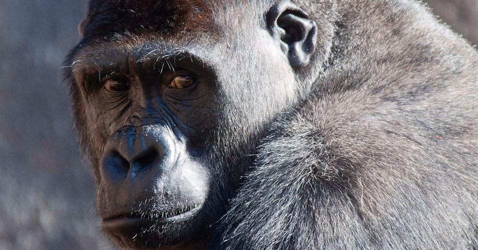 Foto de divulgação mostra o gorila Kibali, 11, no Zoológigo Taronga, em Sydney, na Austrália