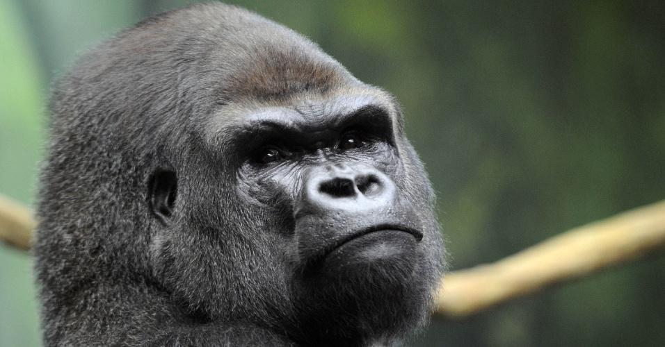 """Gorila de dorso prateado em seu recinto """"Gorilla's Camp"""" no zoológico Amneville"""