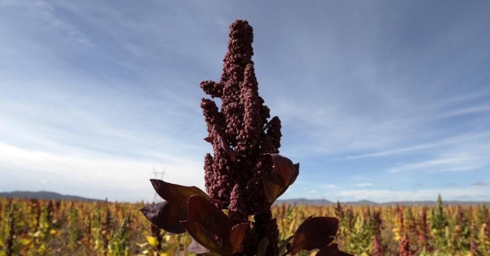 Quinoa, considerado o melhor alimento vegetal do planeta, é visto em plantação em Collana (80 km de La Paz) na Bolívia