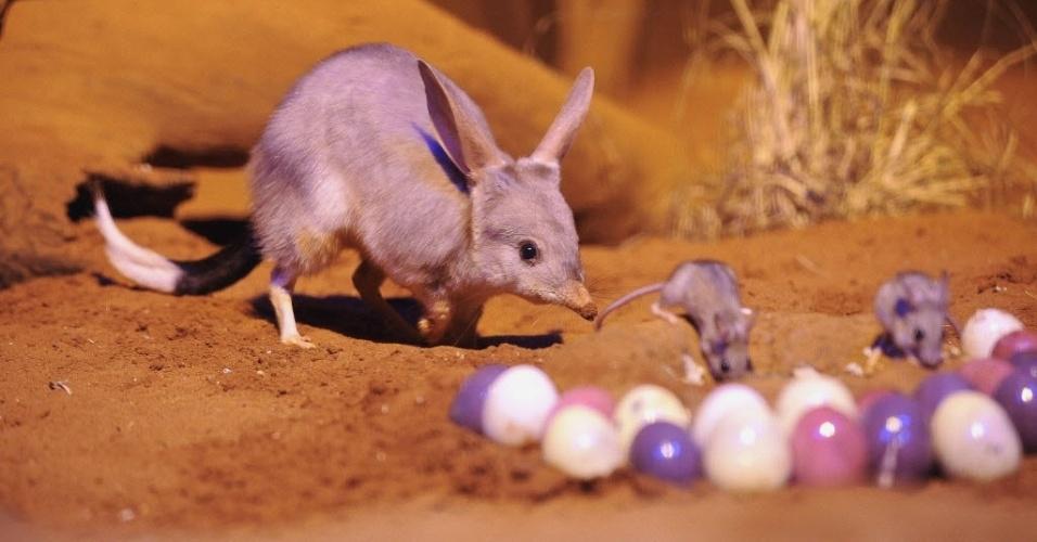 Símbolo da Páscoa na Austrália, um bilbi maior (tipo de marsupial encontrado apenas em solo australiano) cuida de suas crias ao lado de ovos no zoo de Sydney