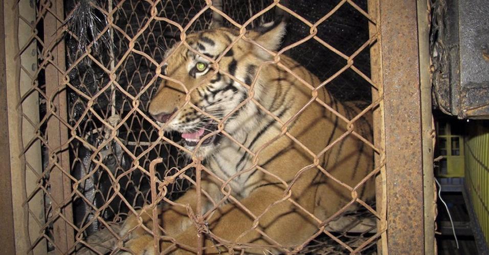 A Polícia de Crimes contra a Natureza apreendeu dois tigres e prendeu o funcionário de um zoológico particular na província de Chaiyaphum, na Tailândia, por posse ilegal de vida selvagem