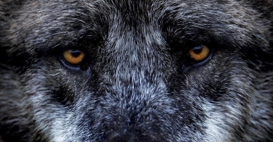 Lobo do zoológico de Hanover (Alemanha) observa fotógrafo