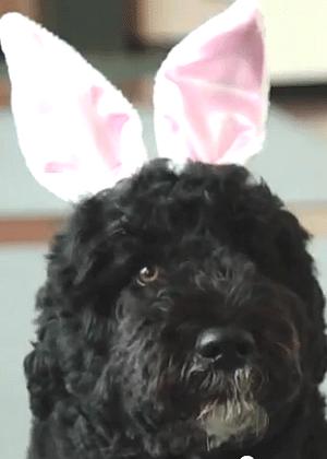 Barack Obama divulga em seu Twitter foto de seu cachorro fantasiado de coelhinho da Páscoa