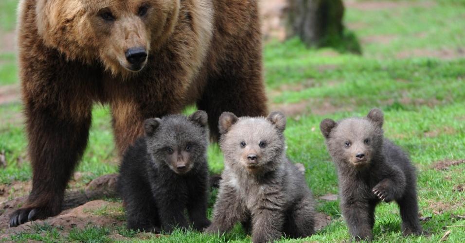 Mãe ursa junto aos seus três filhotes no recinto ao ar livre no parque da vida selvagem Tripsdrill, em Cleebronn