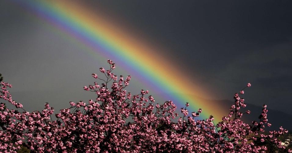 Foto tirada em Genebra, na Suíça, mostra flores de cerejeira com arco-íris ao fundo