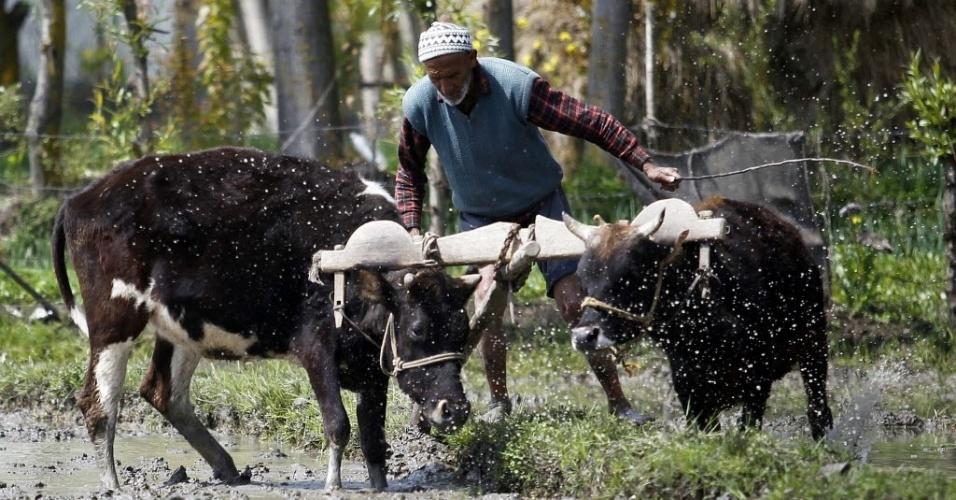 Fazendeiro usa duas vacas para arar campo de arroz em Chak-e-Kawoosa, cerca de 25 km (16 milhas) a oeste de Srinagar (Índia)