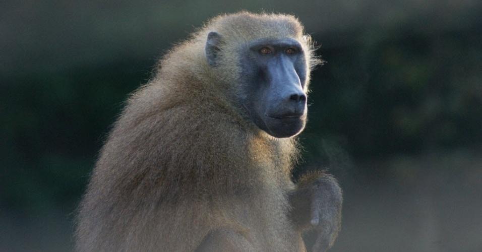 """Foto sem data que ilustra estudo recém-publicado na revista """"Science"""", sobre o treinamento de seis babuínos  treinados para distinguir palavras reais, de quatro letras da língua inglesa, de palavras inventadas"""