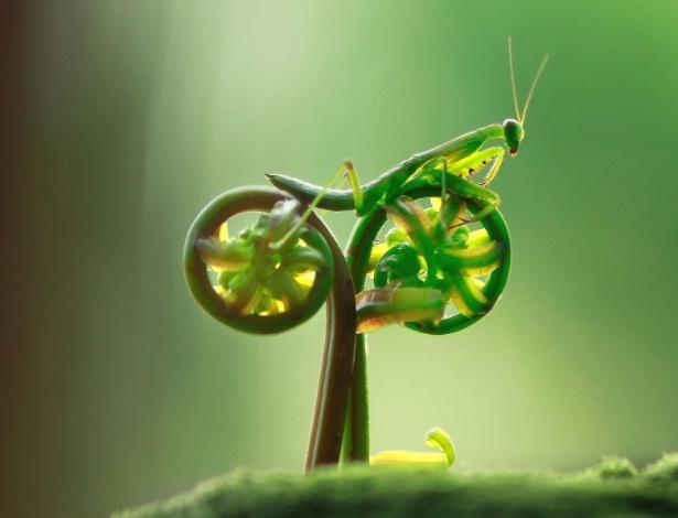 """Louva-a-deus anda de """"bicicleta"""" na Indonésia - Caters"""