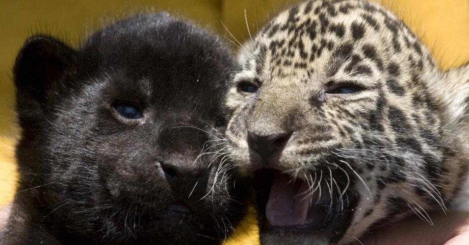 Colônia de jaguares em risco de extinção é descoberta no México