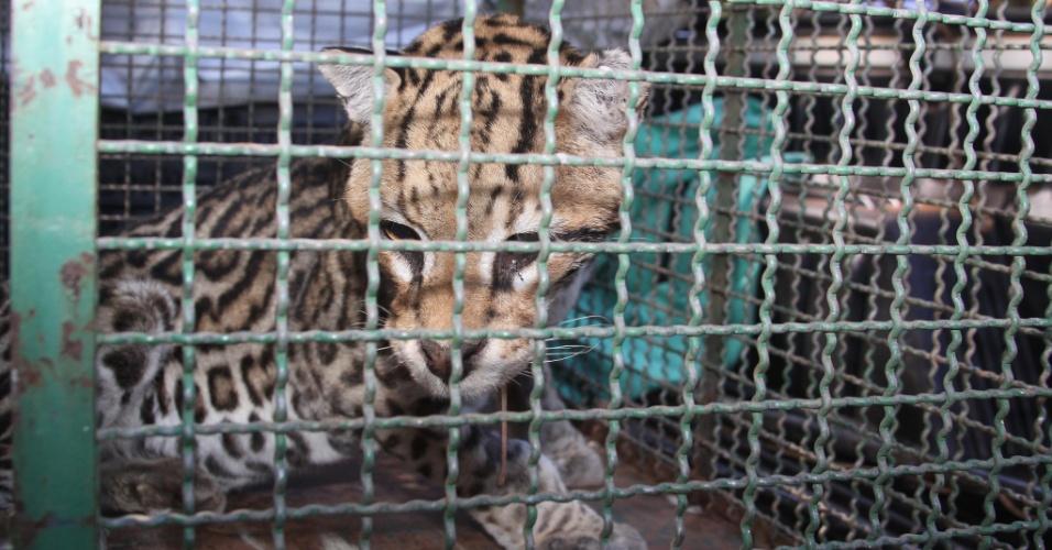 Jaguatirica encontrada em uma fazenda na zona rural de Uberaba (MG) foi solta em uma reserva ambiental de Conceição das Alagoas, no Triângulo Mineiro,