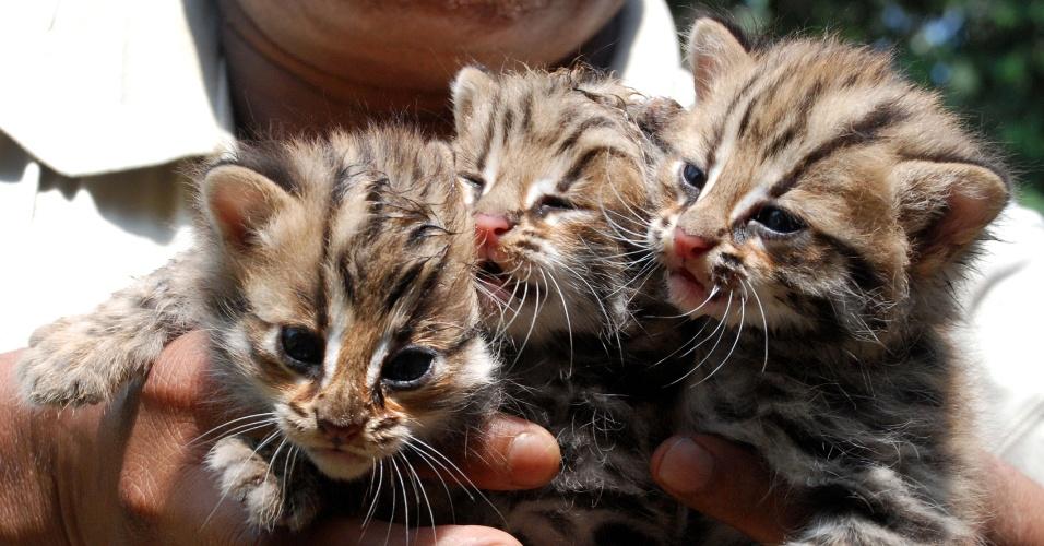 Funcionário do zoológico estadual Assam, em Guwahati, na Índia, segura três filhotes de leopardo