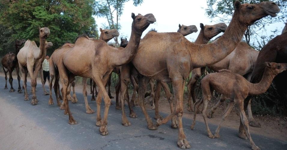 """""""Pastor"""" de camelos conduz animais em estrada de Gandhinagar, na Índia"""