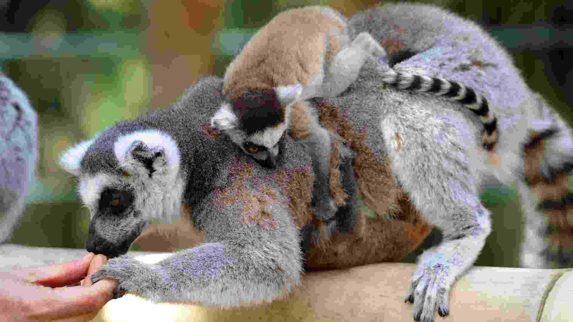 Lêmur de 5 semanas de idade sobe nas costas da mãe em zoológico de Braunschweig, na Alemanha - EFE