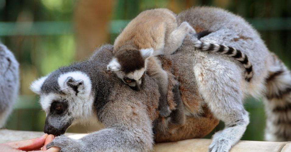 Lêmur de 5 semanas de idade sobe nas costas da mãe em zoológico de Braunschweig, na Alemanha