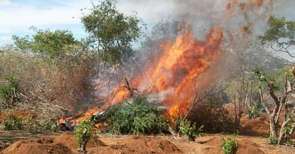 Policiais civis e militares encontraram nesta quarta-feira (18) plantações com mais de 4.000 pés de maconha na zona rural de Mirandiba, em Pernambuco