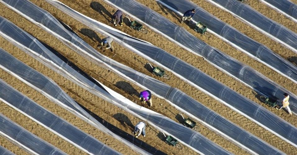 Agricultores colhem aspargos em Beelitz, na Alemanha. A colheita começou mais cedo neste ano, devido ao excesso de chuvas e elevação da temperatura