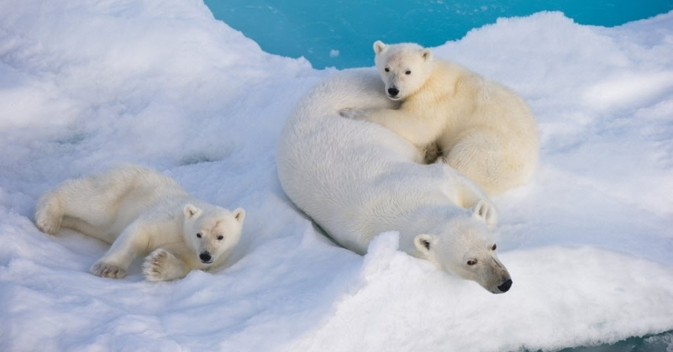 Imagem de junho de 2011 mostra fêmea de urso polar e seus filhotes  na região do mar de Barents (Ártico).  Os ursos polares evoluíram como espécie separadamente mais cedo do que se imaginava, segundo estudo