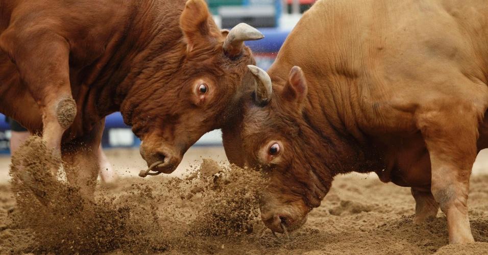 """Daegam (à esq.) e Jamiseong medem forças com seus chifres durante festival de """"lutas"""" de touros em Cheongdo, na Coreia do Sul"""