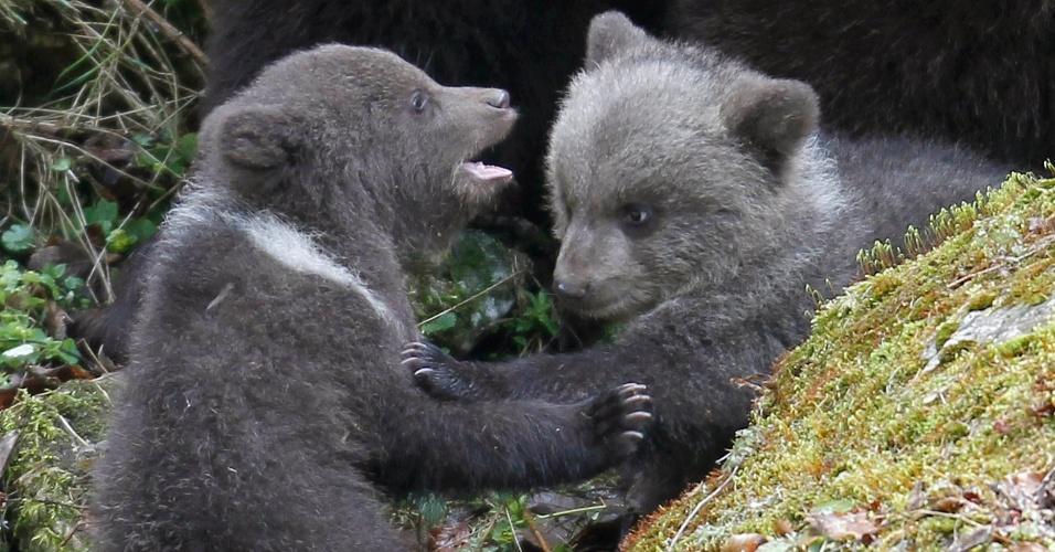 Dois filhotes de urso brincam no seu recinto no zoológico perto de Juraparc Vallorbe