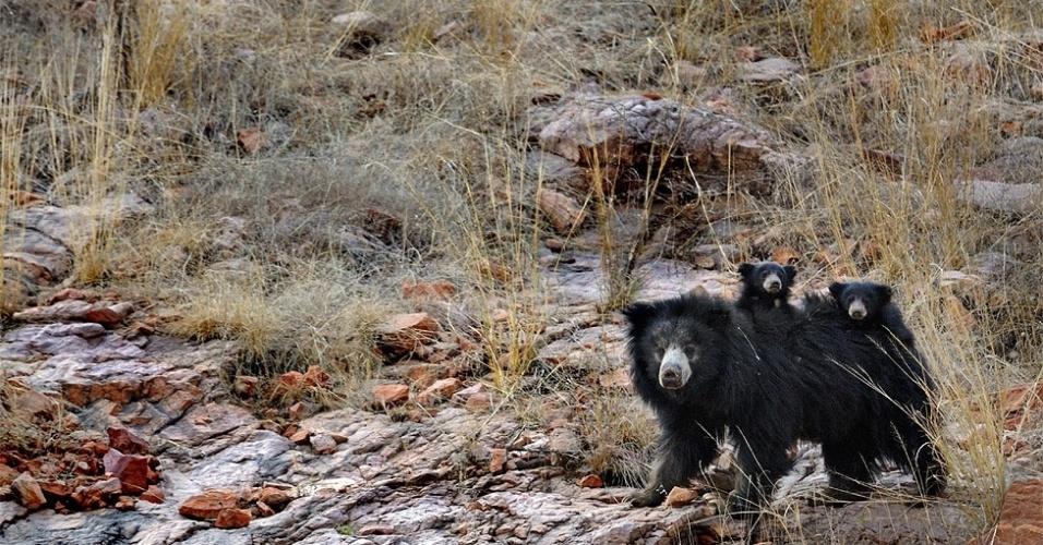 Na Índia, uma mãe ursa, fotografada com os filhotes nas costas, também teve de usar toda sua coragem para defendê-los