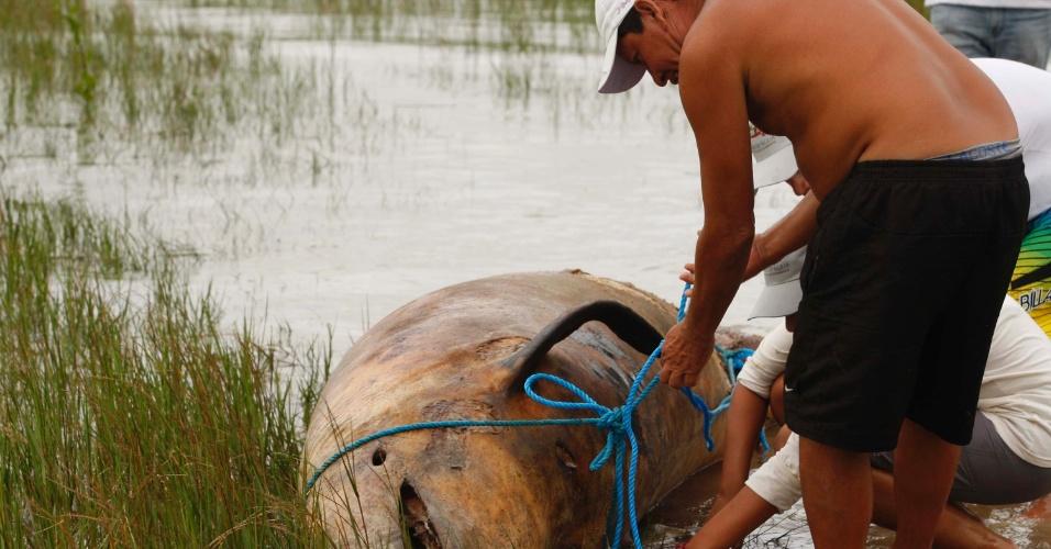 Um golfinho da espécie falsa orca foi encontrado morto na Praia de Marudá (150 km de Belém), região do litoral paraense
