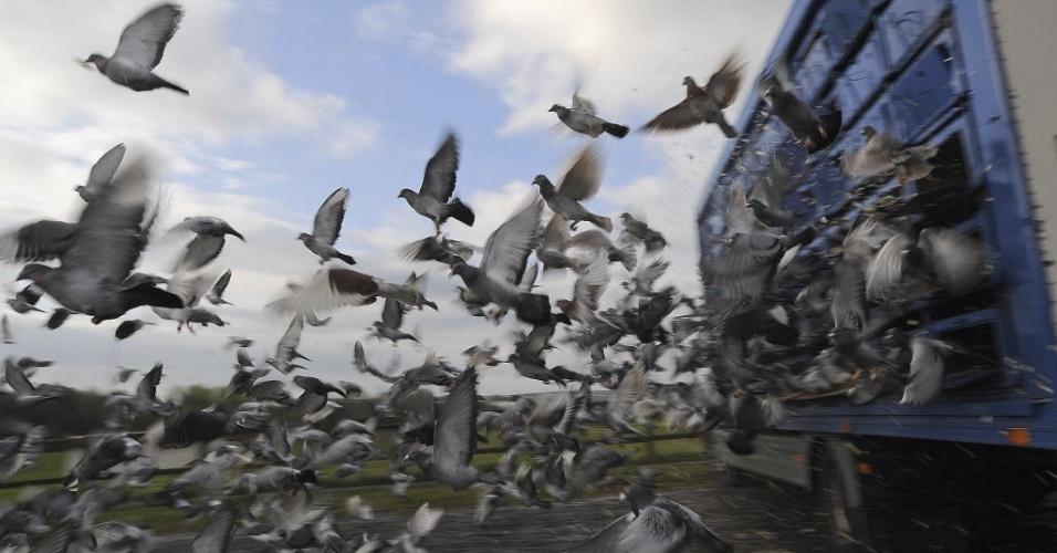 Pombos-correio são soltos de suas jaulas para voarem até suas casas, no norte da Inglaterra