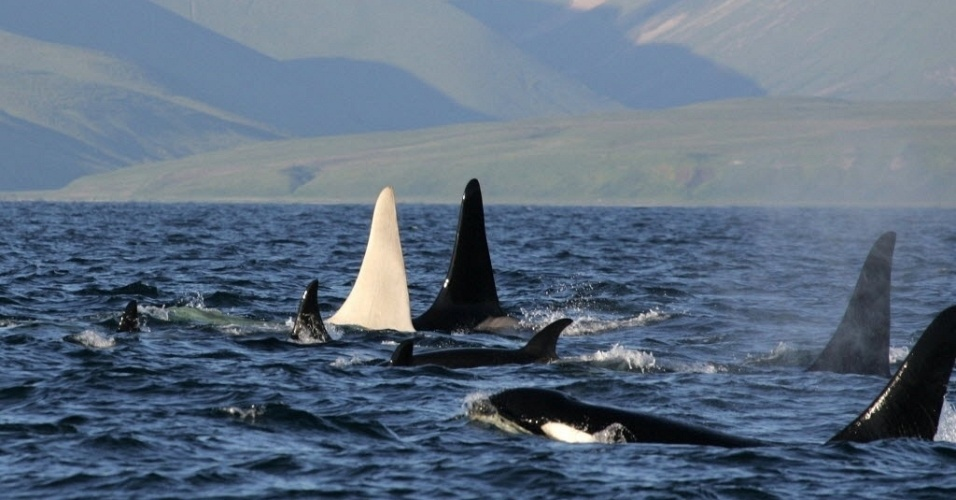 Baleia-assassina albina viaja com grupo de 13 orcas próximo à ilha de Bering, na Rússia. Um grupo de cientistas russos acompanha o animal, único branco de sua espécime já visto, o que lhe rendeu o nome de Iceberg