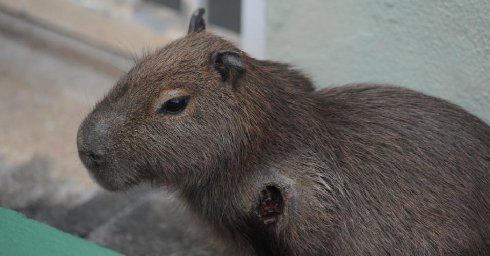 Filhote de capivara que estava ferido em Blumenau (SC) desde sexta-feira (20) ao meio-dia, recebeu atendimento veterinário