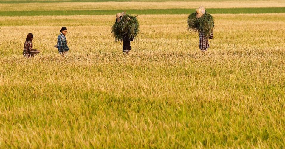 Mulheres andam através de um campo de arroz, carregando a grama para alimentar os bois, em Naypyitaw