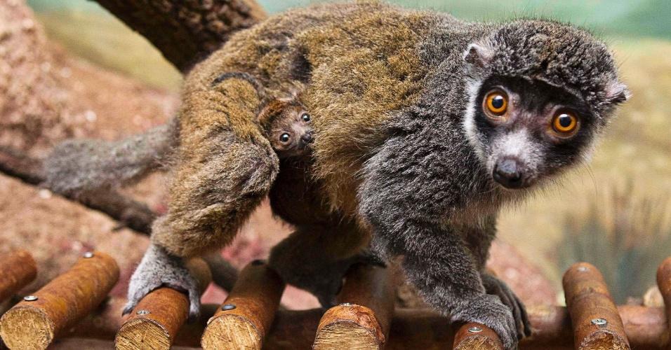 Bebê lêmure se aninha sob a pele da mãe no zoológico de Tampa, nos Estados Unidos