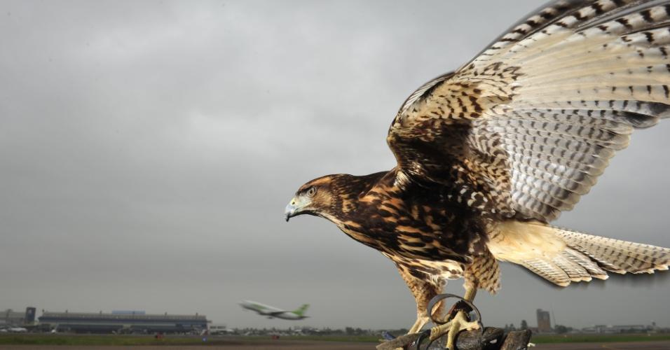 27.abr.2012 - Falcões capturam aves que trazem risco a aviões