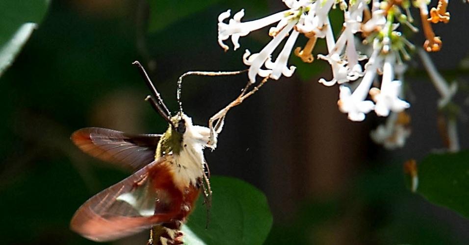Mariposa tira néctar de uma flor, neste domingo (29), em Manassas, Virgínia (EUA). O inseto é conhecida como mariposa beija-flor porque voa e emite sons semelhantes ao do pequeno pássaro