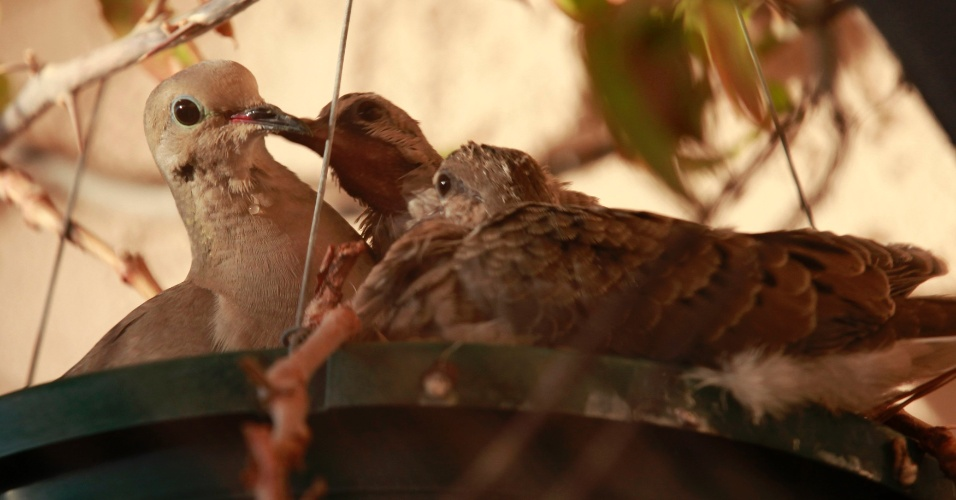 Passarinho alimenta seus filhotes em ninho, em Los Angeles, na Califórnia (EUA)