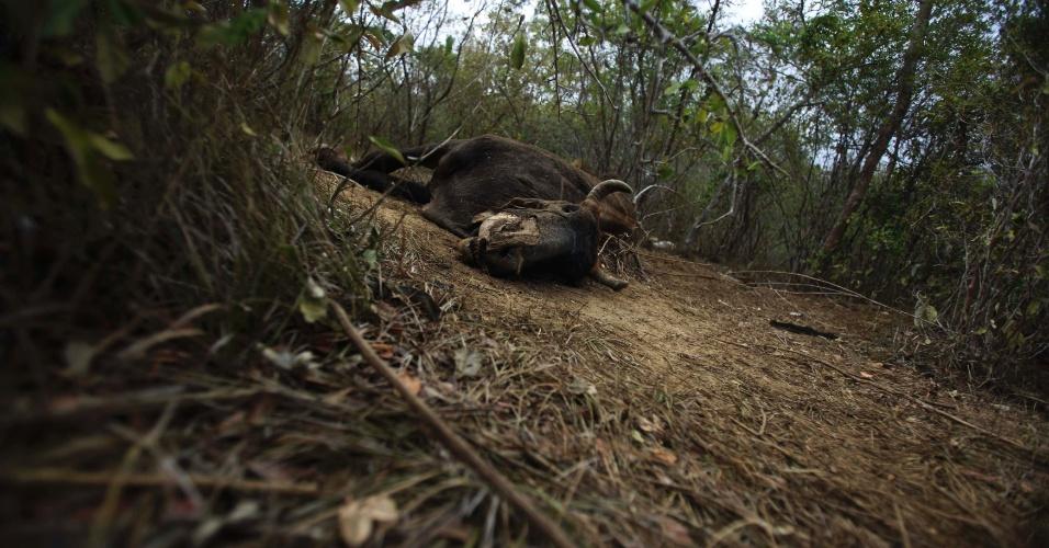 3.mai.2012 - Animal que morreu em consequência da seca é visto em pasto de Maracas, na Bahia