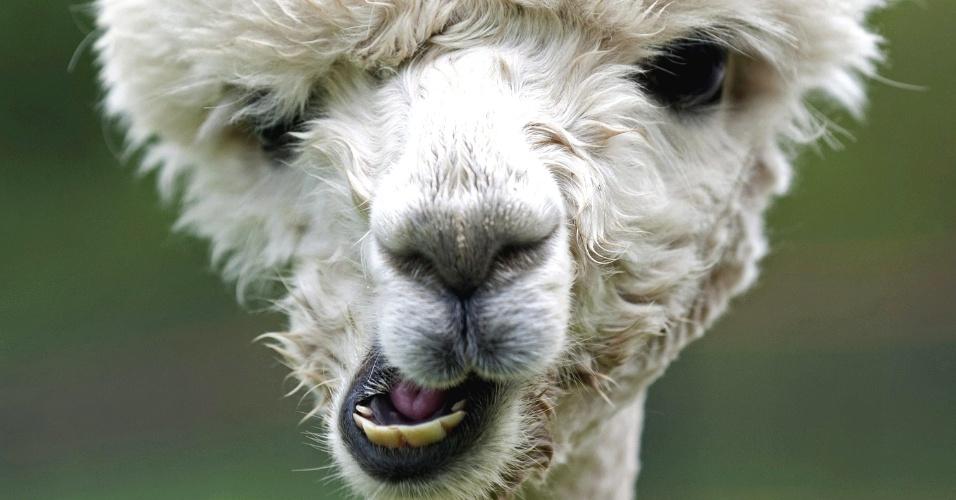 Alpaca, uma espécie de camelo, é flagrada mastigando em um campo de Friedberg, na Alemanha